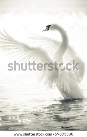 Stock Photo Graceful Swan on a lake in black and white