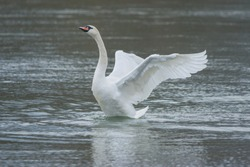 Graceful swan with wide open wings on the river, in winter. Selective focus