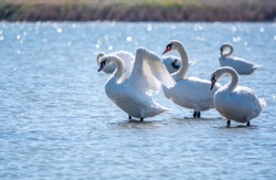 Graceful white Swan swimming in the lake and flaps its wings on the water. White swan is flapping its wings above calm blue water surface background. The mute swan, latin name Cygnus olor.