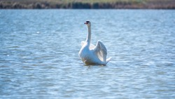 Graceful white Swan swimming in the lake and flaps its wings on the water. White swan is flapping its wings above calm blue water surface. The mute swan, lat. Cygnus olor. Valentine's Day background