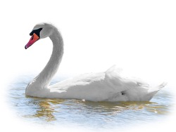 Graceful white Swan swimming in the lake, isolated on white background. Portrait of a white swan swimming on a lake. The mute swan, latin name Cygnus olor.