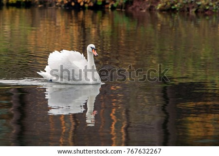 graceful white Swan swimming in the lake , swans in the wild