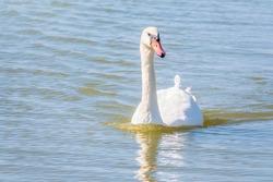 Graceful white Swan swimming in the lake, swans in the wild. Portrait of a white swan swimming on a lake. The mute swan, latin name Cygnus olor.