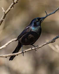 Grackle black bird on a branch
