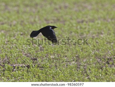 Grackle Blackbird in flight in Saskatchewan Canada