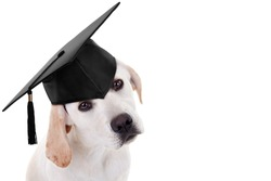 Graduate Labrador puppy dog on white with copy space