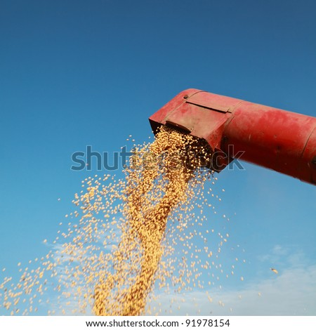Grain auger of combine pouring soy bean