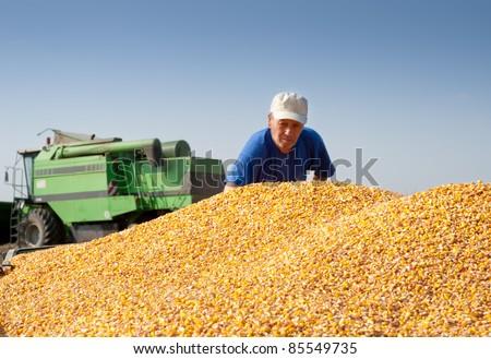 grain corn closeup on field