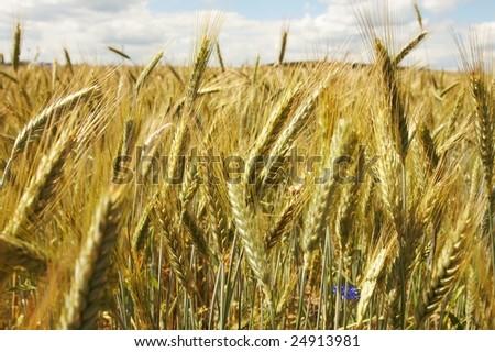Grain ears #24913981