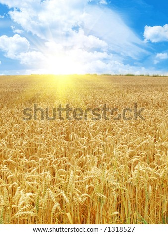 grain field and sunny day