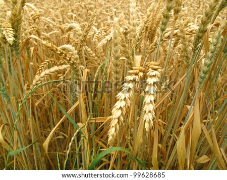 grain field background - stock photo