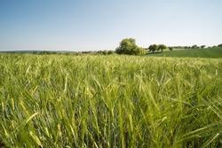 Grain fields landscape in summer in southern Germany