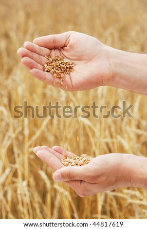Grain of the wheat in hands of the person on a background of a wheaten field