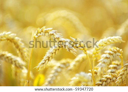 grain ready for harvest growing in a farm field