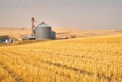 Grain Silos in Field. A wheat field with grain silos for storage.