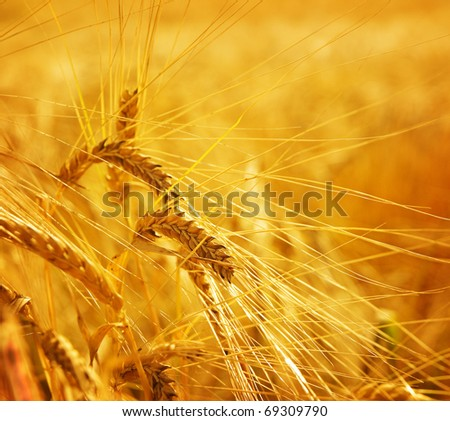 Grain wheat barley ears, yellow ripe field, agriculture background