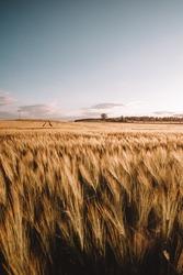 grainfield cornfield farmland sunset golden hour country sun