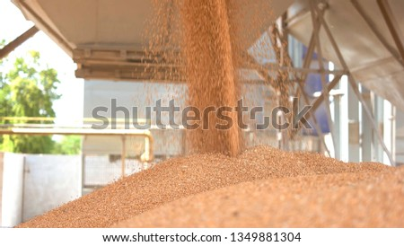 Grains fall from a container. Pile of yellow grain. Buy cereals at low price. Stocks of agricultural company. #1349881304