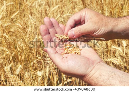 Grains in a farmer\'s hands on the wheat field background. Harvesting. Agricultural theme. Toned colors image