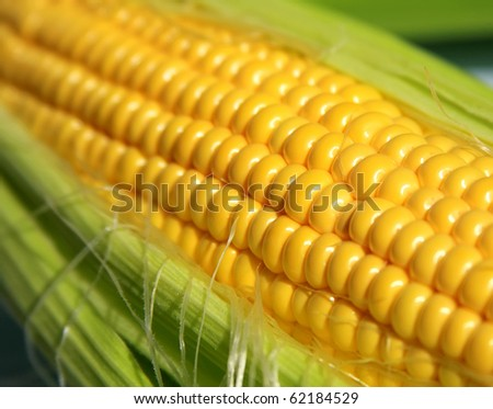 Grains of ripe corn in an ear, close up