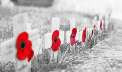 GRAINY BLACK & WHITE WITH RED POPPIES -  Remembrance Day Poppies on wooden crosses, on frosty grass