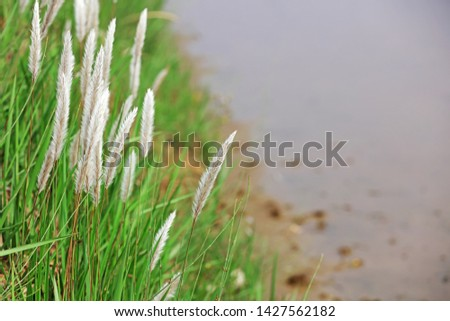 gramineae botany white grass by the pond #1427562182
