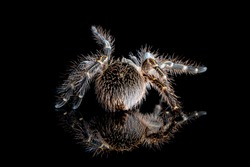 Grammostola Pulchripes tarantula (Chaco Golden Knee), tarantula back view on reflection with black background