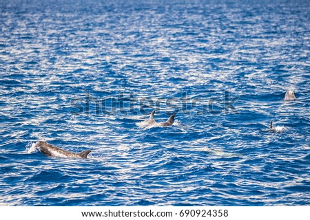 Grampus Dolphin in open water Foto stock ©