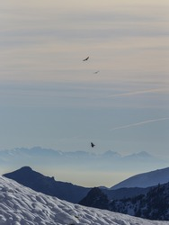 Gran Paradiso National Park, Italy: Golden eagles (aquila chrysaetos) and bearded vulture (gypaetus barbatus) flying together above the Alps in winter.