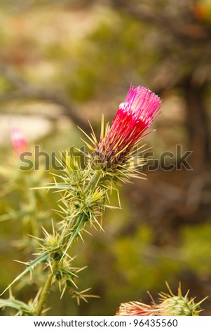 Grand Canyon Thistle