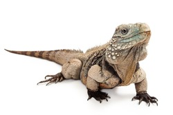 Grand Cayman Blue Iguana, an endangered species of lizard commonly found in the dry forests and shores of Grand Cayman Island
