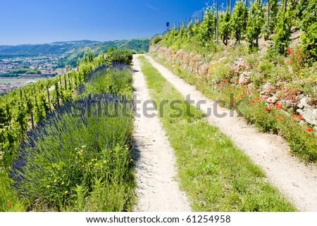 grand cru vineyard, Hermitage, Rhone-Alpes, France