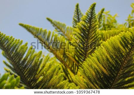 grand fir (Vancouver fir, or Oregon fir) is a major constituent of the Grand Fir/Douglas Fir Ecoregion of the Cascade Range #1059367478