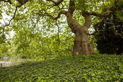 Grand Old Tree. A grand old tree, its roots covered in ivy, sits beside the lake in Battersea Park in London. Battersea Park is an oasis of nature in the heart of an international city.