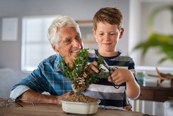 Grandchild learning gardening and plant care with the help of grandpa. Smiling boy helping senior man trimming bonsai at home. Grandson and grandfather pruning together baby plant at home.