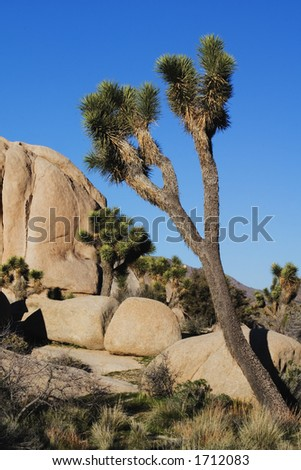 Granite rock formations and Jashua Tree (Yacca spp.) in Joshua Tree National Park, California