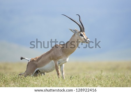 Grant's Gazelle, (Nanger granti) marking his territory in the Ngorongoro Crater, Tanzania