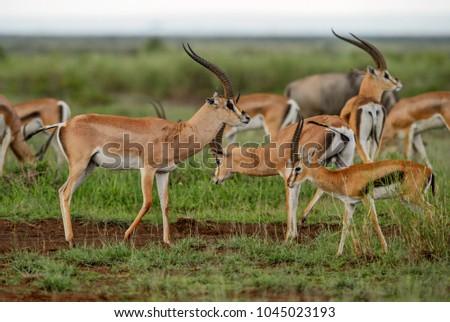 Grant's Gazelle - Nanger granti, small fast antelope from African savanna, Tsavo National Park, Kenya.