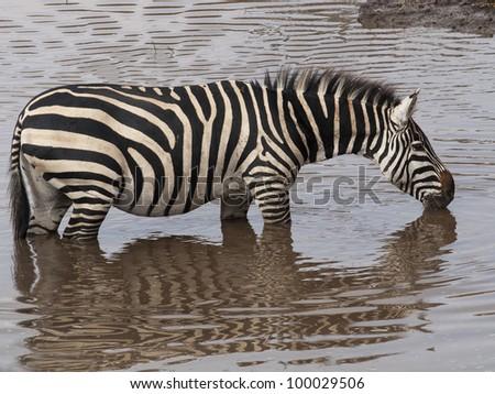 Grant's zebra, Equus quagga boehmi, Masai mara. Kenya. Africa