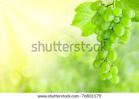 grape bunch growing in a sunny garden
