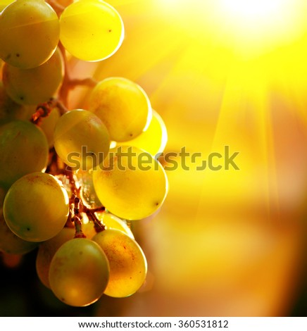 Grape. Bunch of grapes on grapevine growing in vineyard. Yellow grapes with green leaves on the vine in sunlight. Soft focus