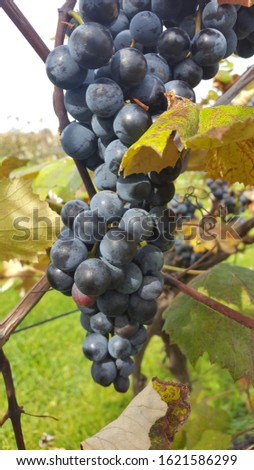 Grape bunches in New York state