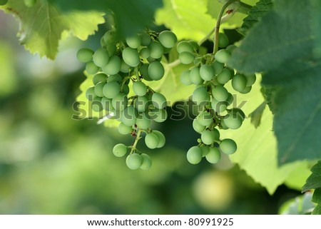 Grape bush with brushes of the ripened green grapes