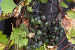 Grape disease. White grapes rot on the vine. Crop infected by gray mold. Botrytis cinerea.