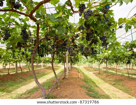grape farm