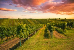 Grape field growing for wine. Vineyard hills. Summer scenery with wineyard rows