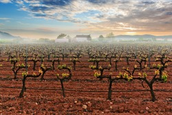 Grape field in the fog on the background of mountains and beautiful sunset. Valencia. Spain