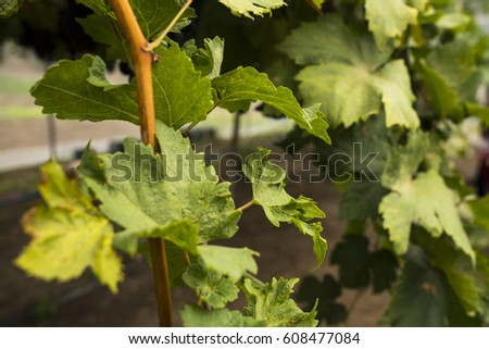 Grape fruit and plant. #608477084