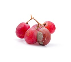 Grape ,fruit rotten on white background.