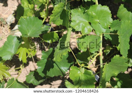 Grape hanging on grape tree. Grape leaves. Organic wine grapes in the vineyard.